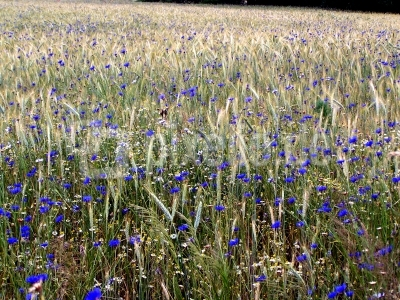 Kornblumen im Getreidefeld 2