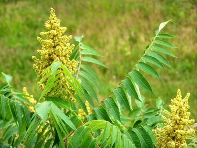 Essigbaum-Blüte 3