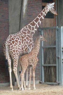 Giraffe - Netzgiraffe