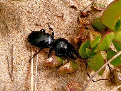 Schwarzer Käfer im Sand