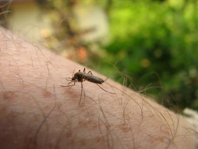 Mückenangriff