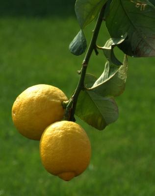 Am Zitronenbaum