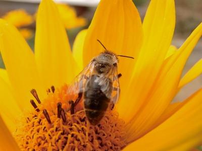 Biene ist fleißig