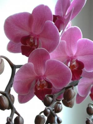 Orchidee_rosa_2