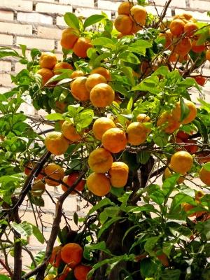 Pampelmusenbaum