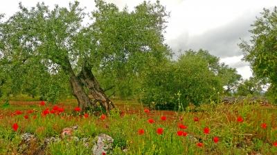 Olivenbaum mit Mohn