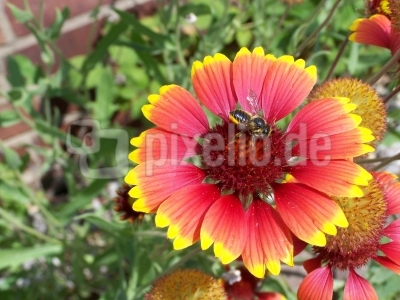 Blümchen mit Biene 3