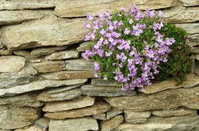 Mauerblümchen 2