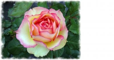 Visitenkarte mit Rose