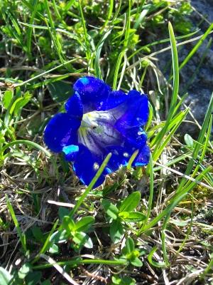 Alpenflora | Enzian