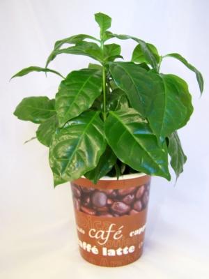 Kaffeebäumchen