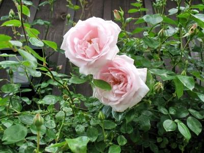 Juni 08 rosa Rosen