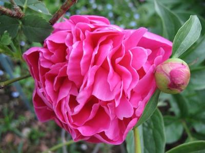 Juni 08 Pfingstrose pink