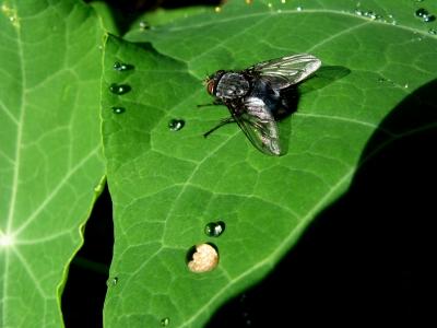 Puck, die Fliege_2