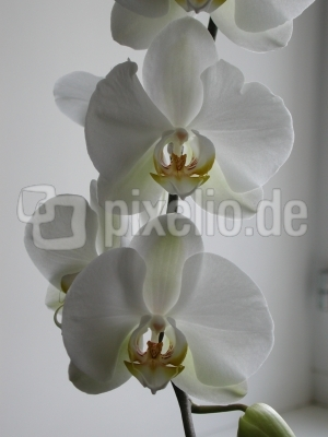 Orchidee_weiss_25