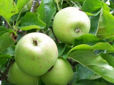 Äpfel 2008 -2