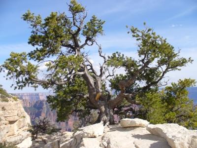 Krüppelbaum