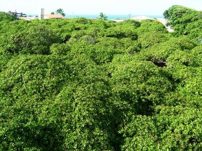 Das Dach des groeßten cashew-Baum der Welt