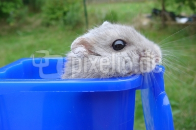Hamster Charly 3