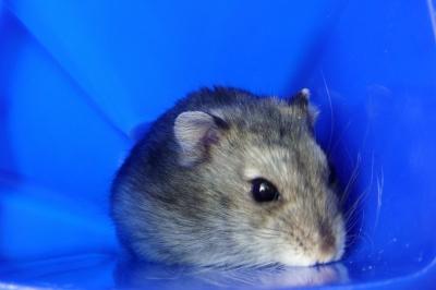Hamster Sammy 2