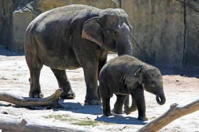 Asiatischer Elefant mit Jungtier