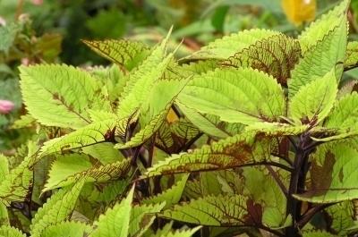 grüne Buntnesseln mit rotbraunen Adern
