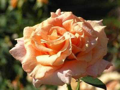 lachsrosa Rosenblüte