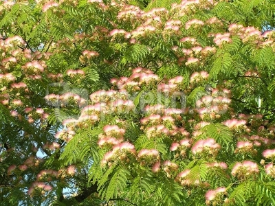 Seiden- oder Schlafbaum   (Gattung der Schirmakazie)