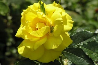 gelbe Rosenblüte mit Besuch