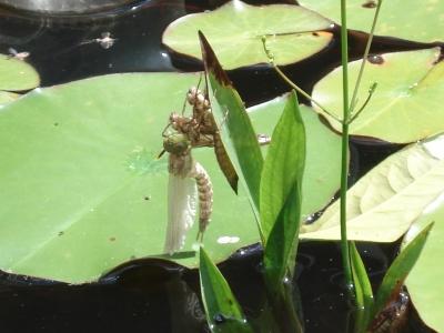 Libelle beim Schlüpfen 05