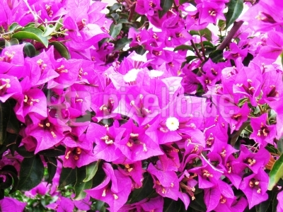 Blütenpracht Mallorca`s