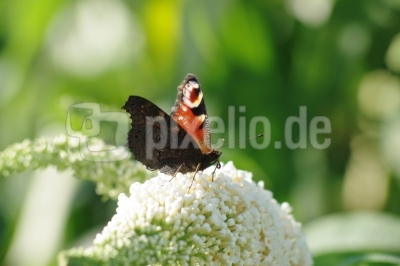 Schmetterling Nummer 2