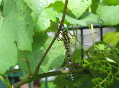 Libelle im Wein