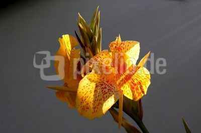 canna in gelb