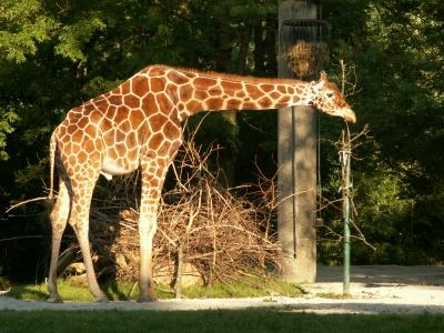Giraffe auf Halbmast
