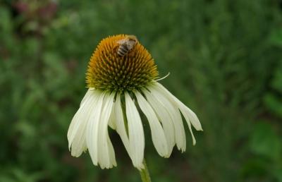 Blüten 8 - Sonnenhut