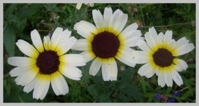 Blühendes Blütentrio nach Sommerregen