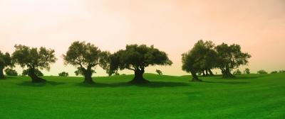 Algarve-Golf mit Olivenbäumen