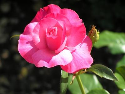 magenta Rosenbüte