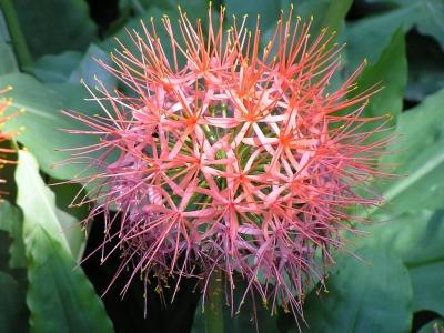 Allium (Lauch)-Blüte