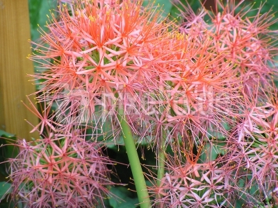 Lauchblüten (Allium)