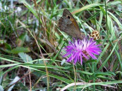 Naschender Schmetterling