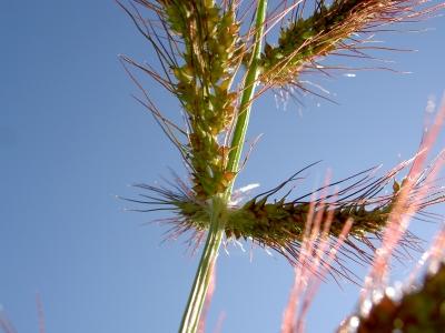 Gräser mit Samen