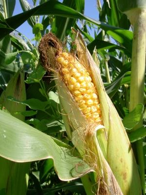 Diesjähriger Mais