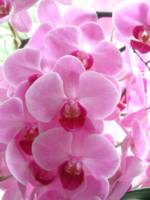 Rosa-Orchidee_38