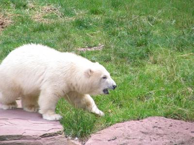 Eisbär Flocke - Tiergarten Nürnberg 01