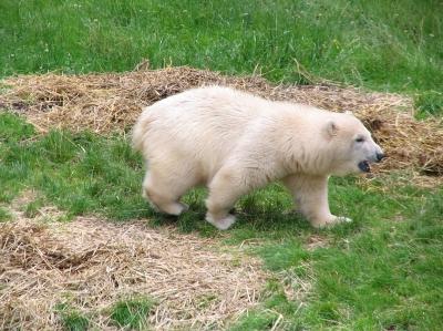 Eisbär Flocke - Tiergarten Nürnberg 02