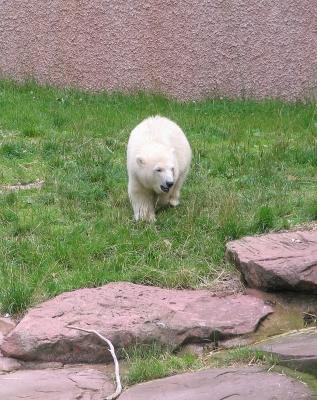Eisbär Flocke - Tiergarten Nürnberg 03