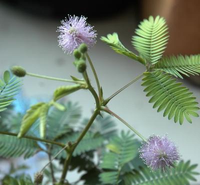 Lösung Botanikrätsel: Mimosa Pudica