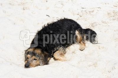 Hund am Szrand 2